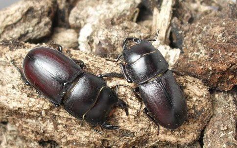 Dorcus brevis males, Copyright Ryan Minard