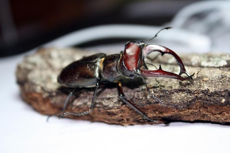 Lucanus elaphus, male © Junsuk Kim