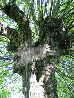 Tree holes in Tilia spec., the habitat of Osmoderma eremita