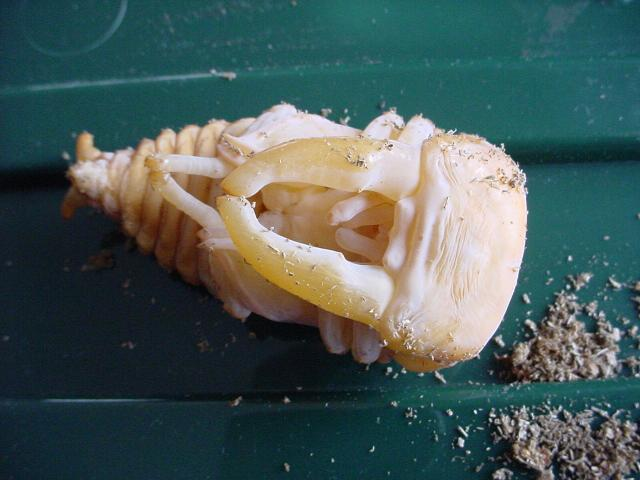 Figure 5.2.1  Shown in the picture is a male pupa captive bred by the author