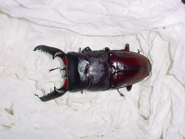 Figure 5.2 Shown in the picture is a 101 mm long male imago that emerged on March the 10th in 2004. Captive reared by the author.