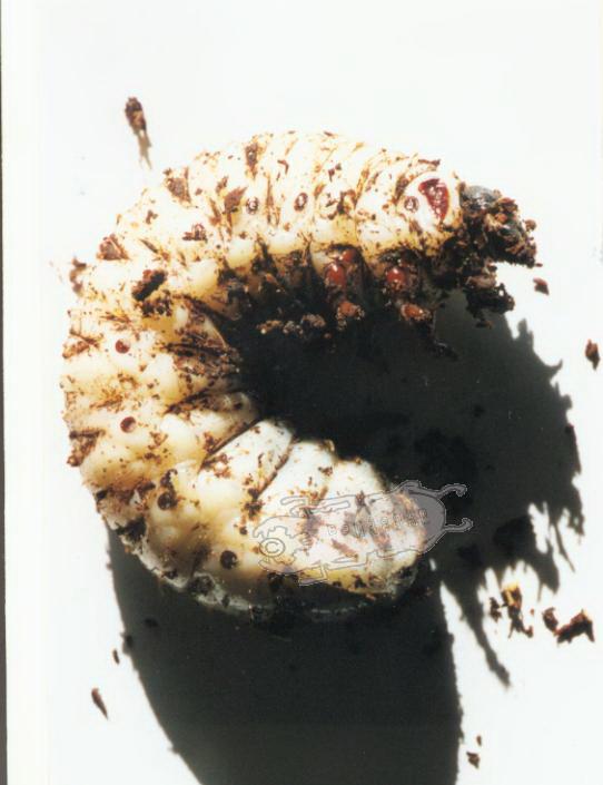 Goliathus goliatus L3 larvae