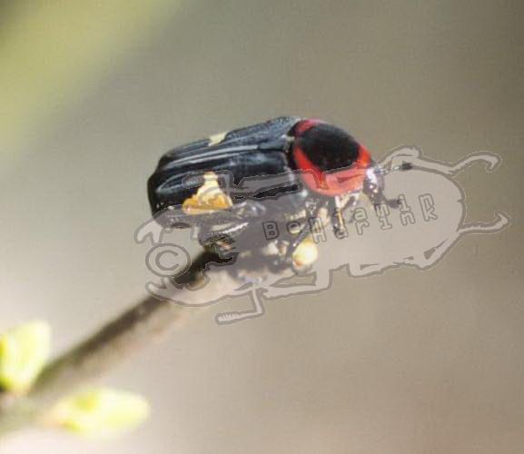 Glyciphana horsfieldi sinensis