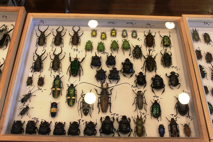 Chrysina, Sphaenognathus feisthameli and others