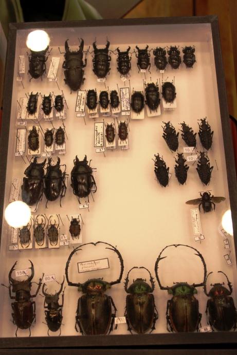 Chinese Lucanidae, esp. Lucanus cantori and Cheirtonus jansoni