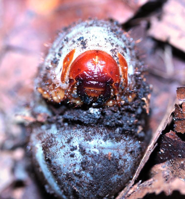 Dilochrosis atripennis L3 larva