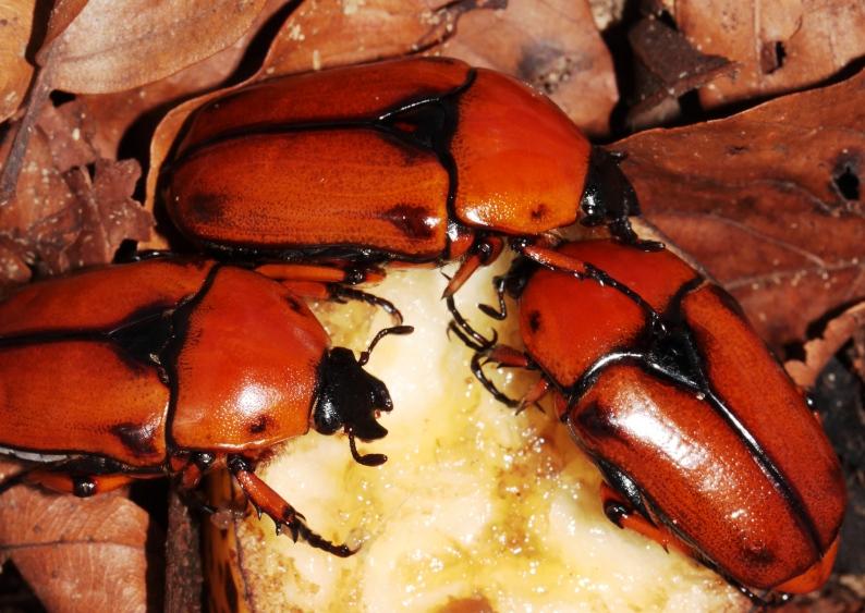 Dilochrosis atripennis group, 2 males, 1 female