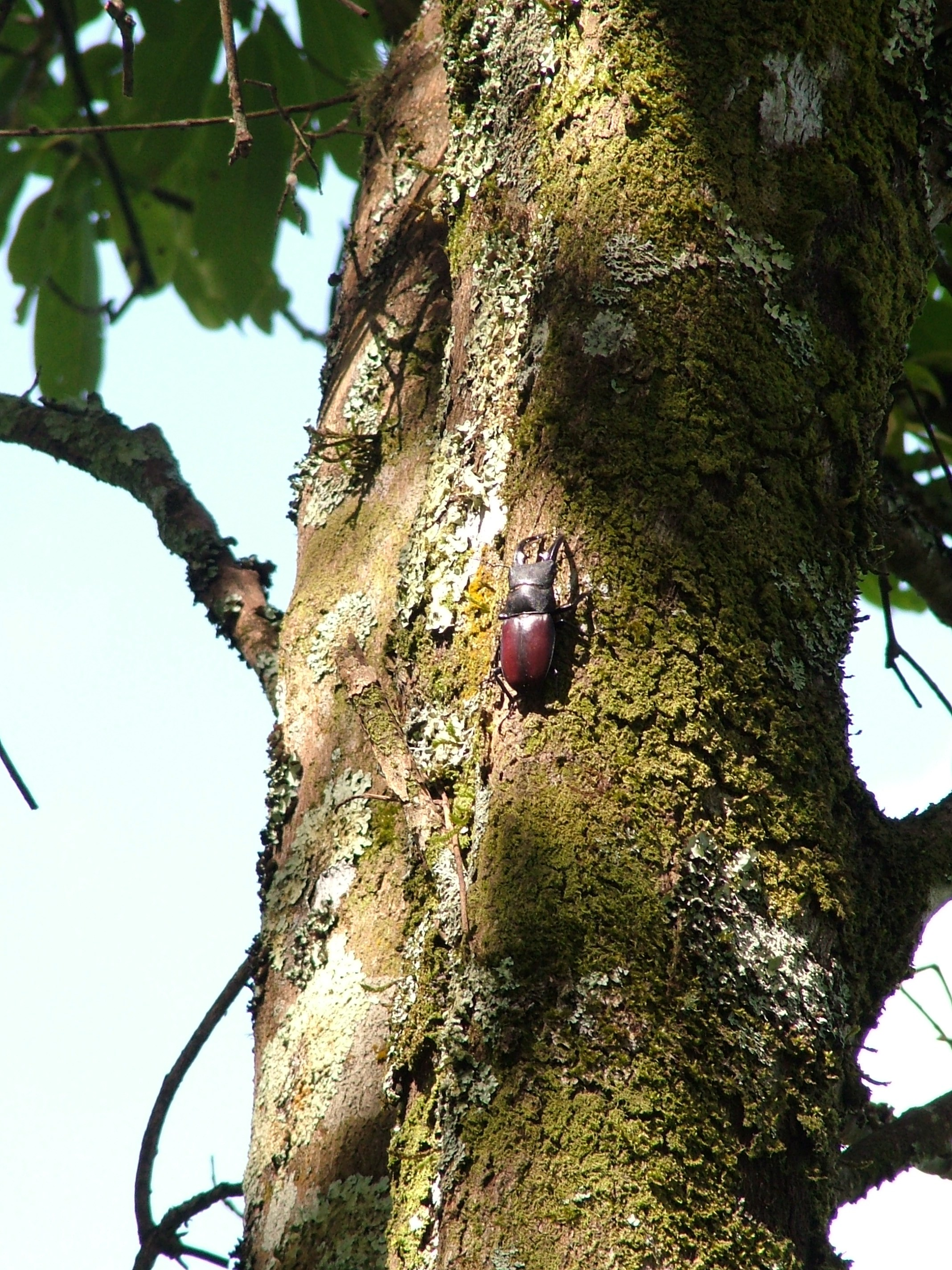 Hexarthrius davisoni male on tree in Kodaikanal