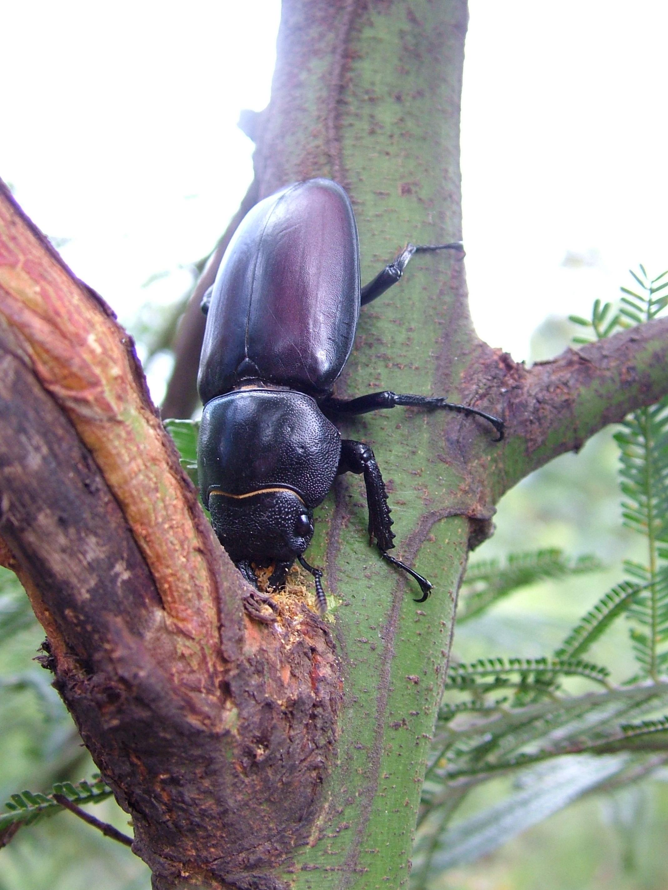 Hexarthrius davisoni female on tree in Kodaikanal