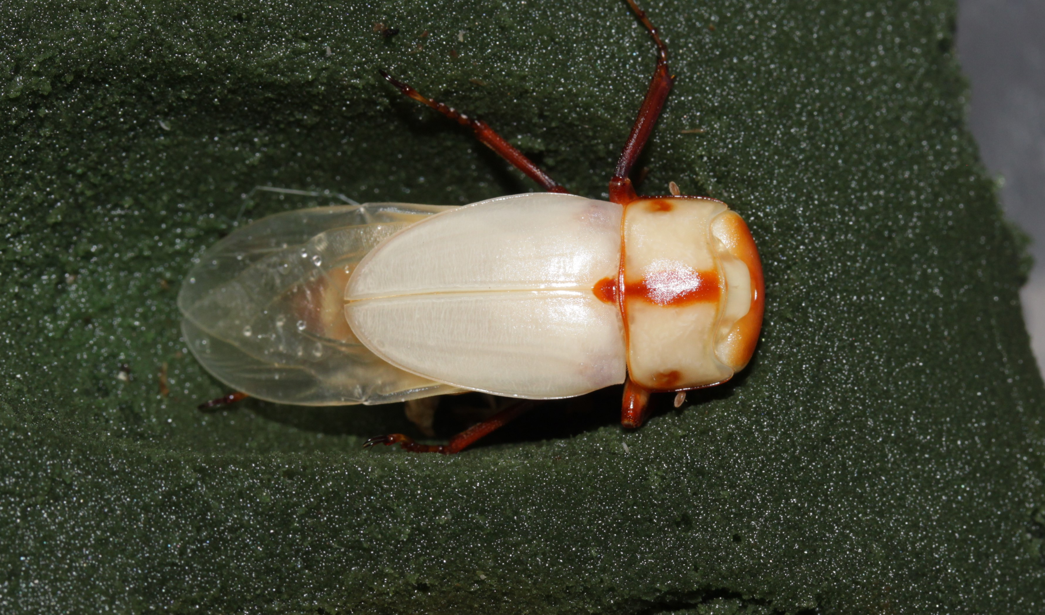 Prosopocoilus suturalis minor male in artificial cocoon from Thailand