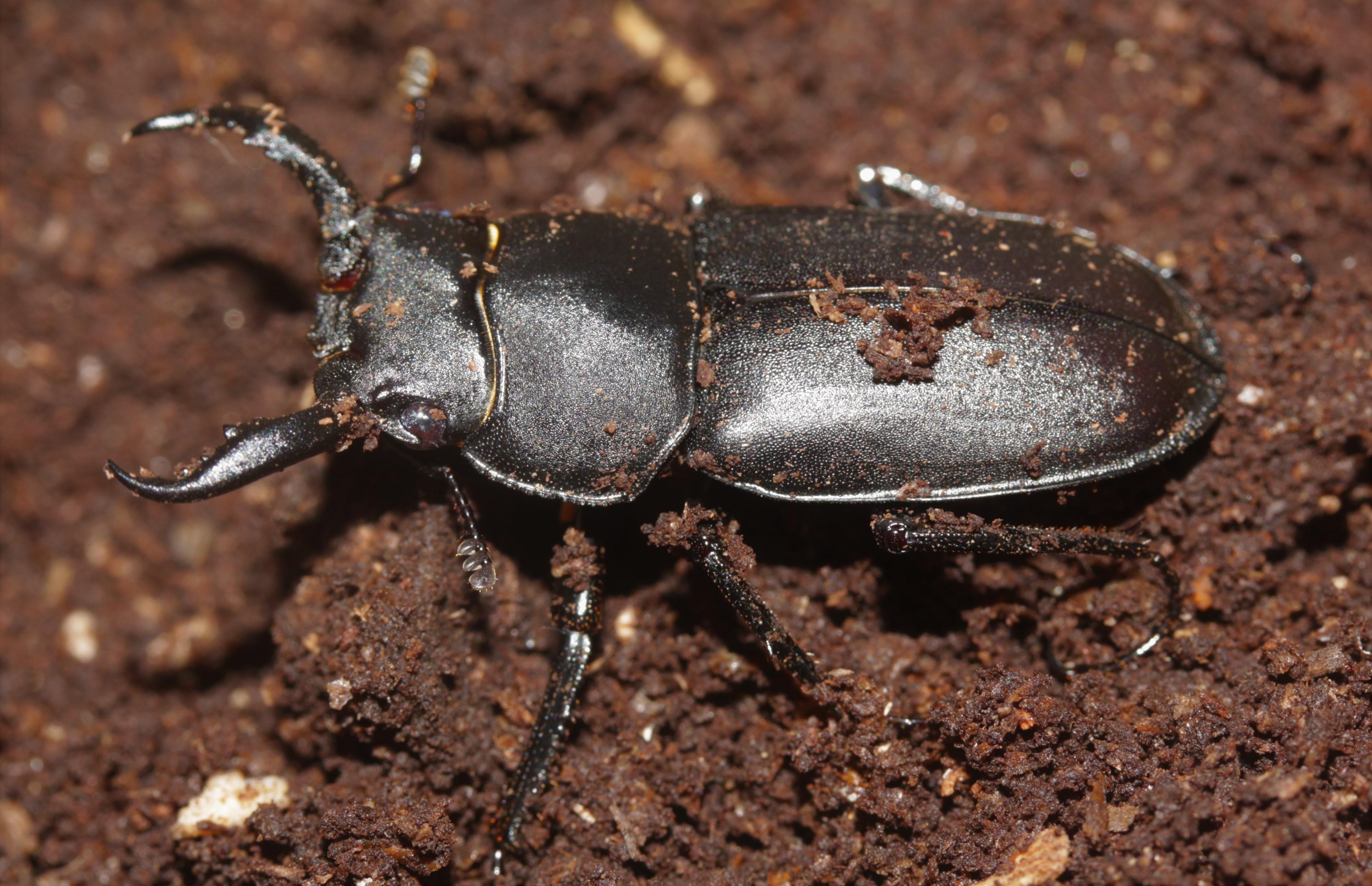 Rhaetulus crenatus recticornis male closeup