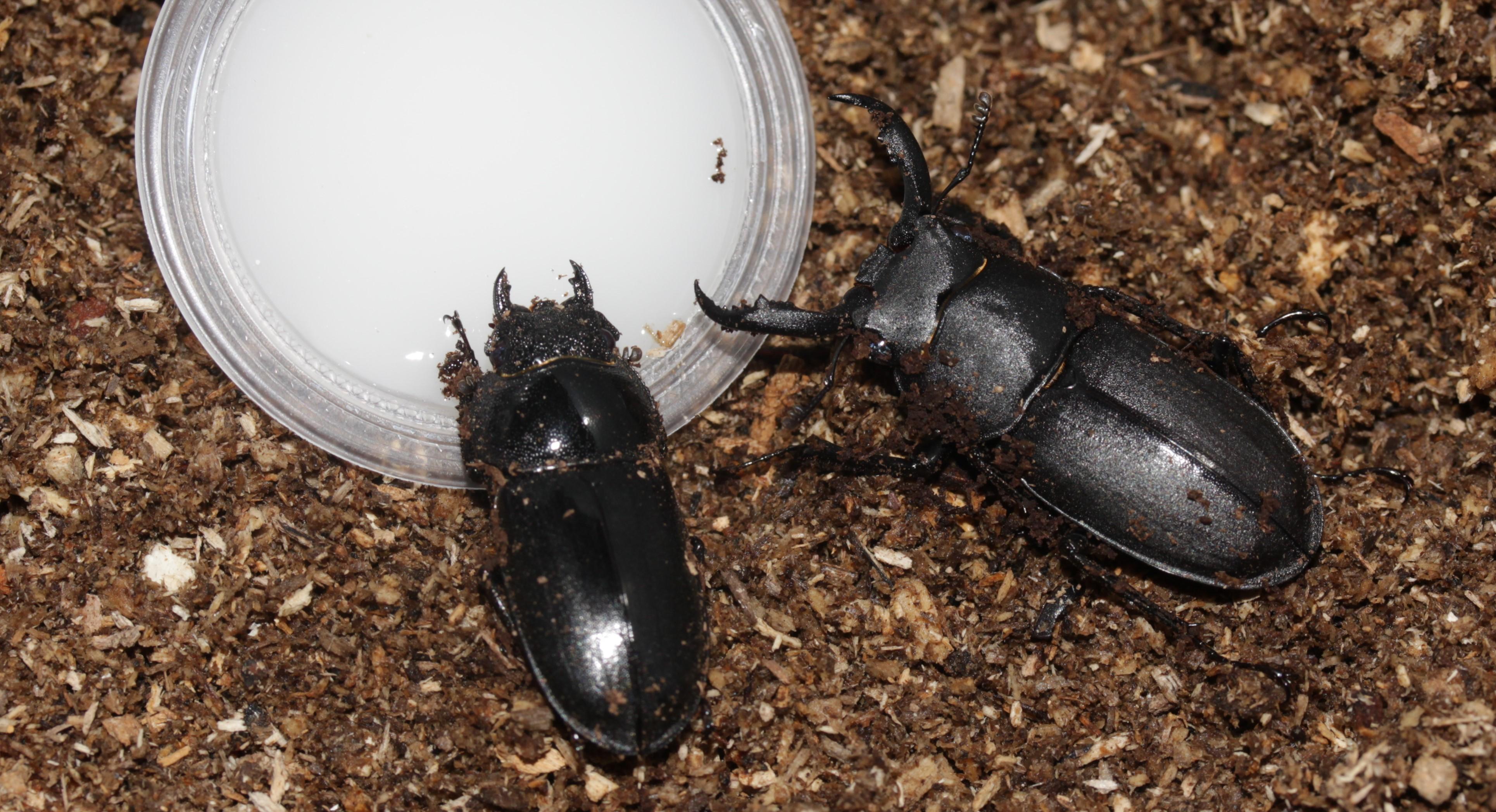 Rhaetulus crenatus recticornis breeding pair, from Amami Oshima Japan