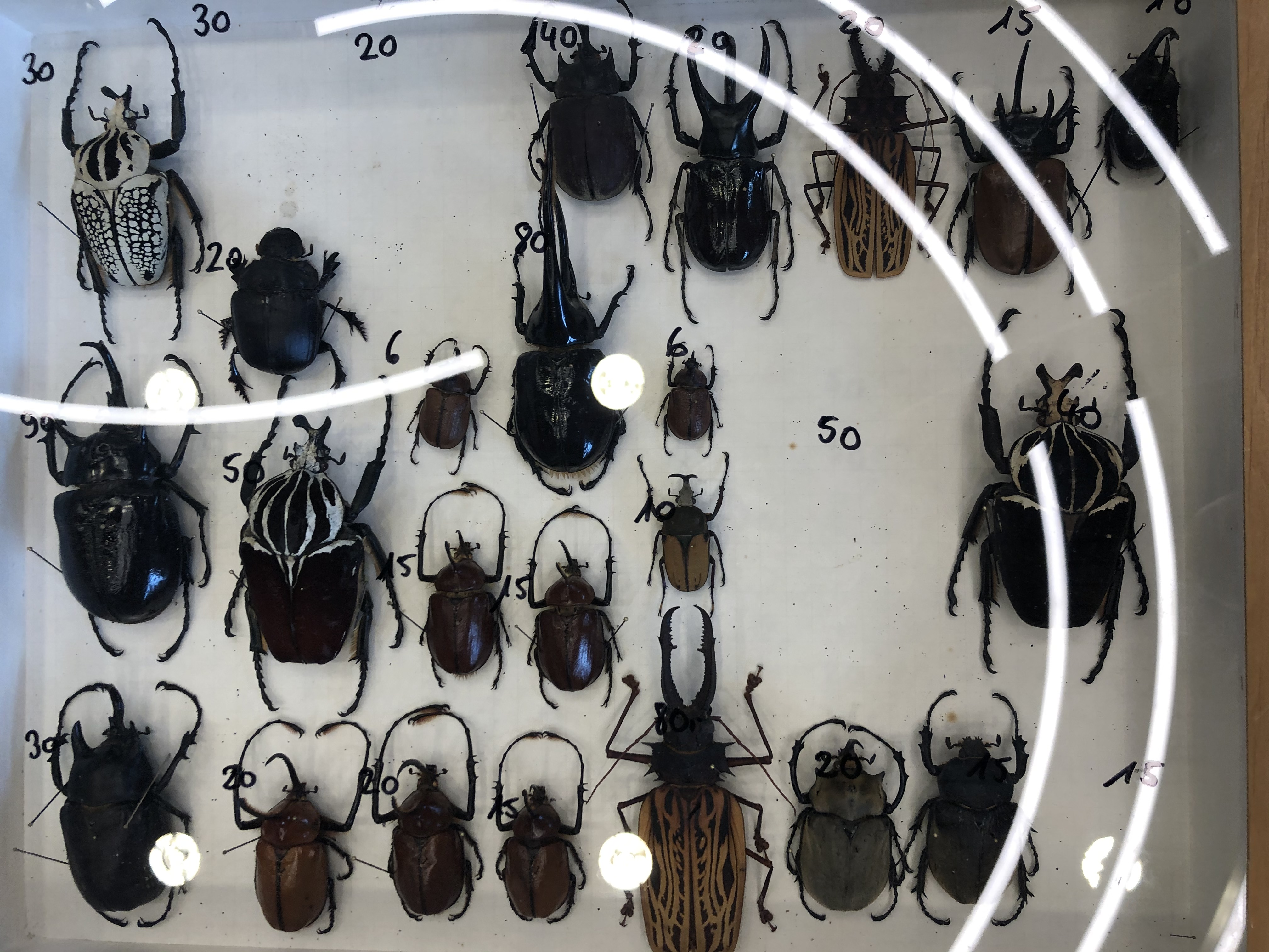 Big beetles on sale