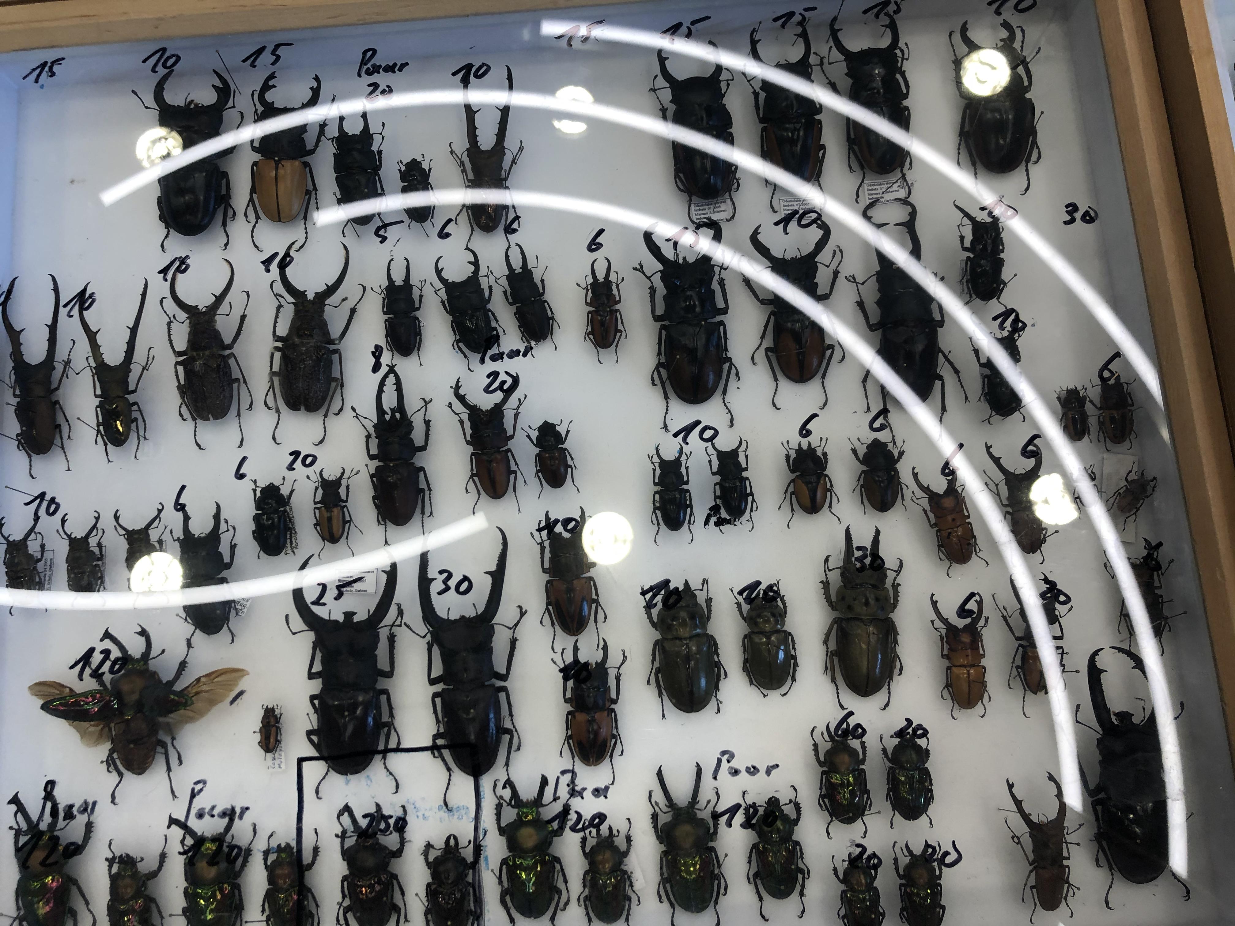 Lucanidae specimen