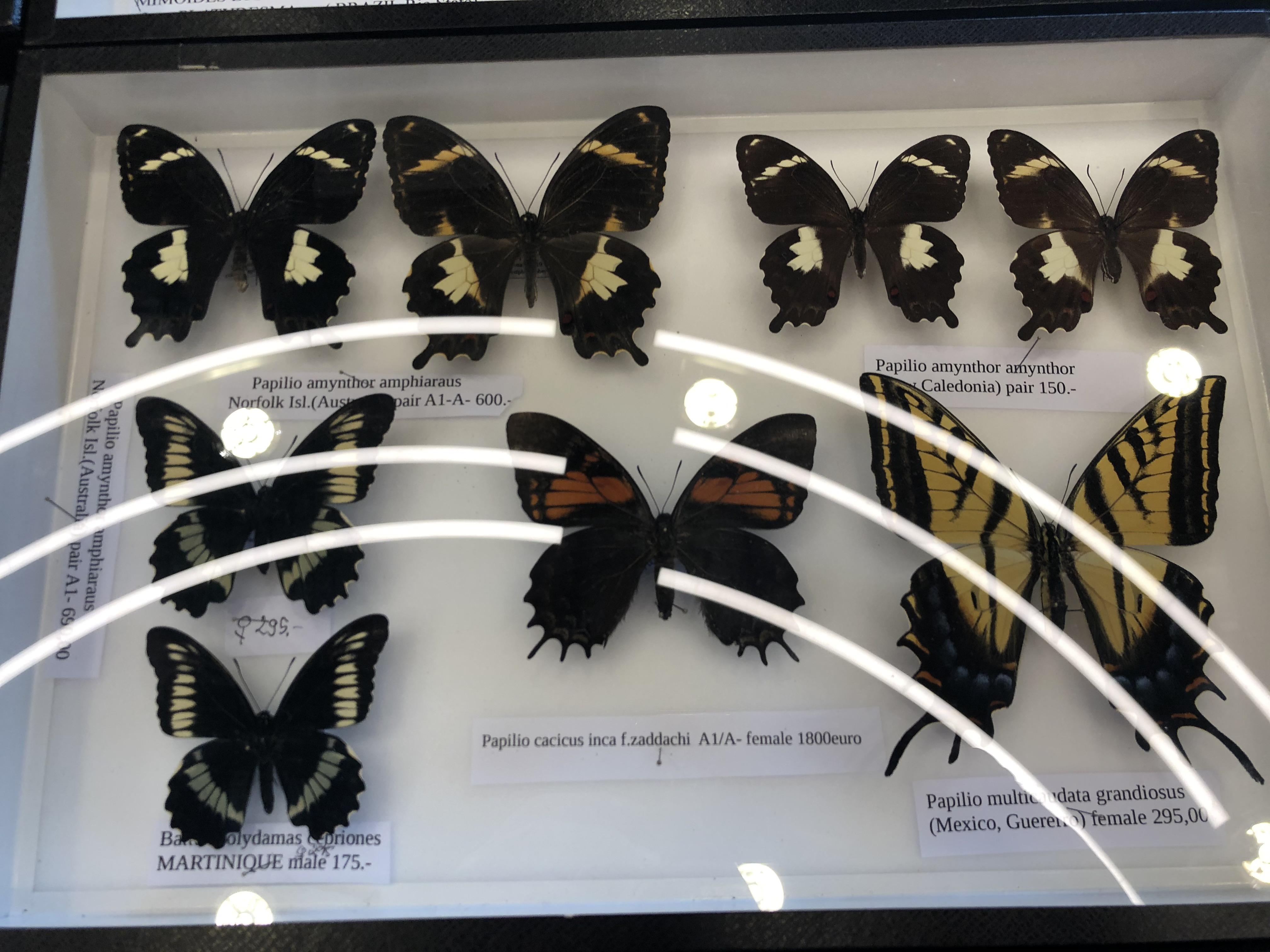Papilionidae specimen