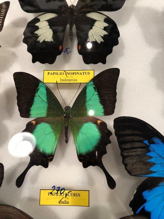 Papilio buddha male
