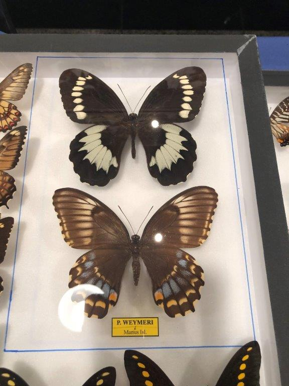 Papilio weymeri