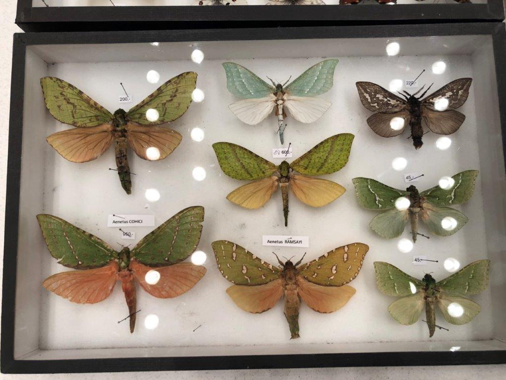 Ghost moths, Hepialidae for sale