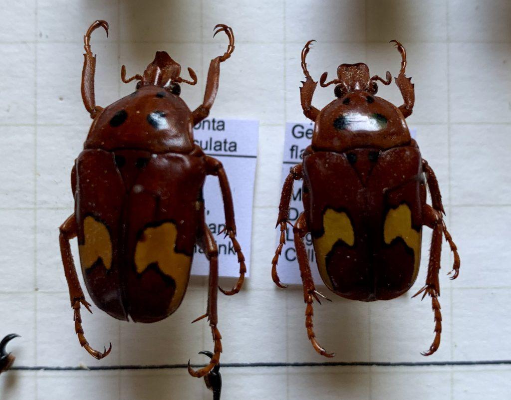 Genyodonta flavomaculata