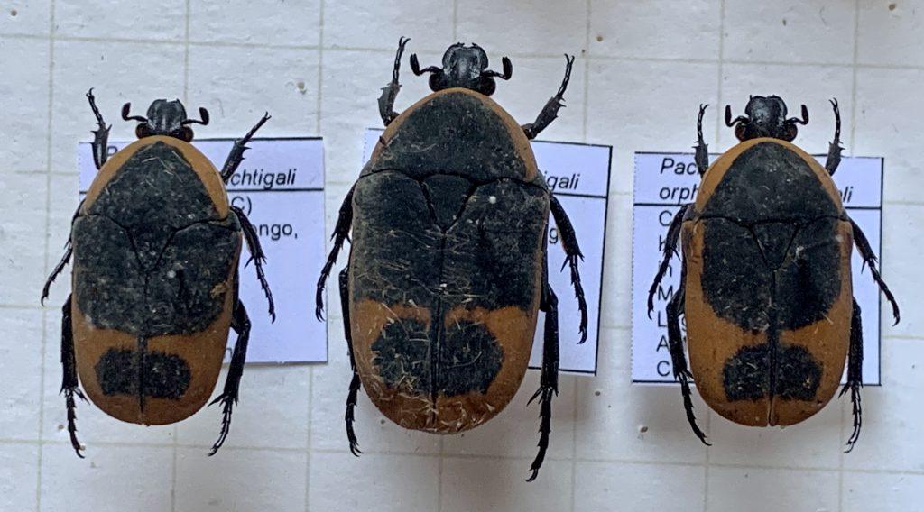 Pachnoda orphanula nachtigali