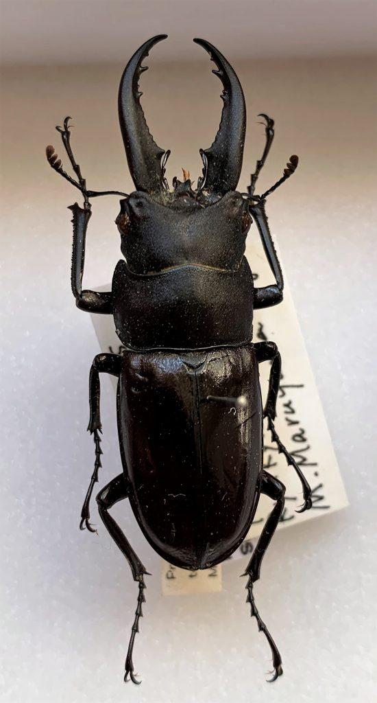 Prosopocoilus dissimilis tokunoshimaensis