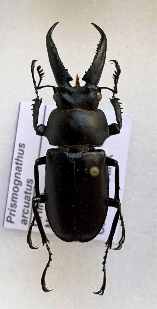 Prismognathus arcuatus