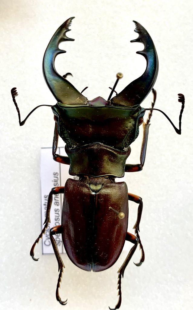Cyclommatus speciosus anepsius