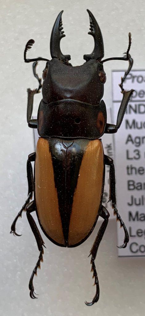 Prosopocoilus speciosus male