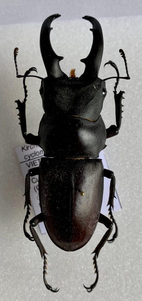 Kirchnerius cyclommatoides