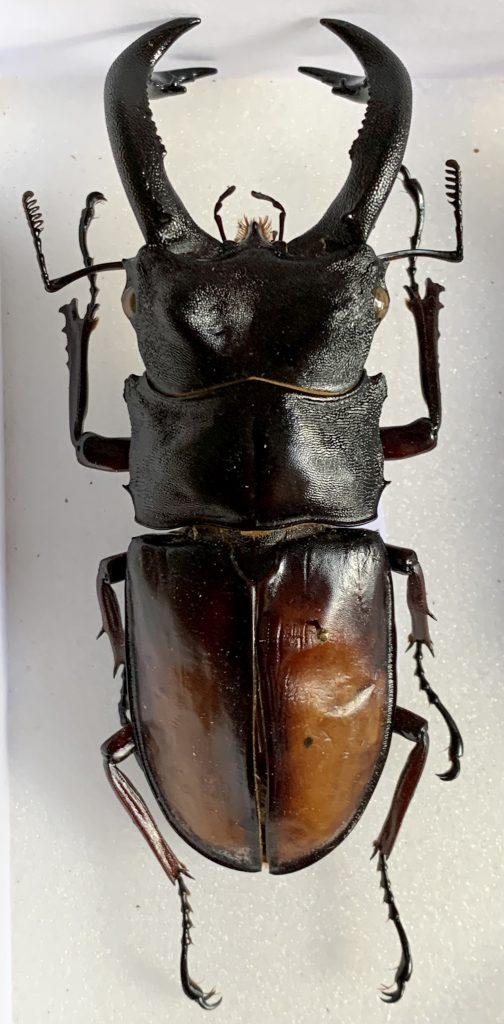 Hexarthrius parryi elongatus