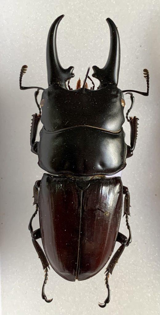 Dorcus hyperion