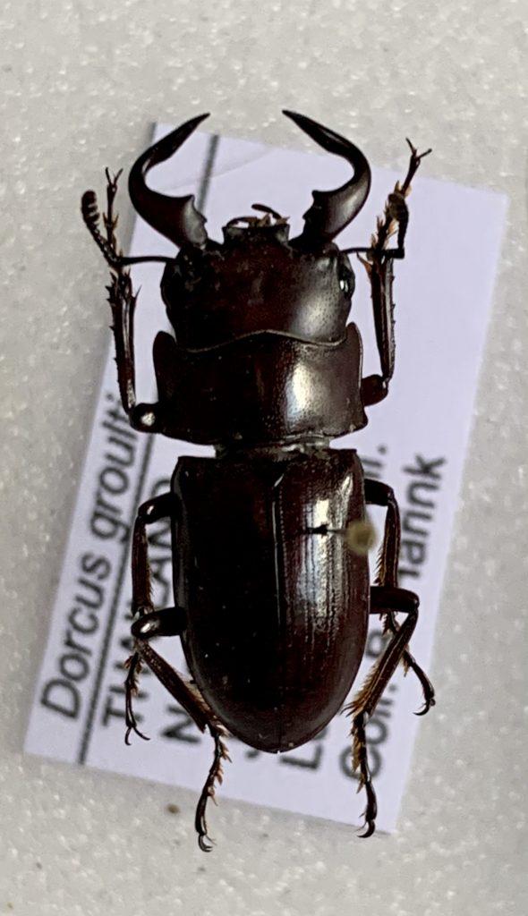 Dorcus groulti