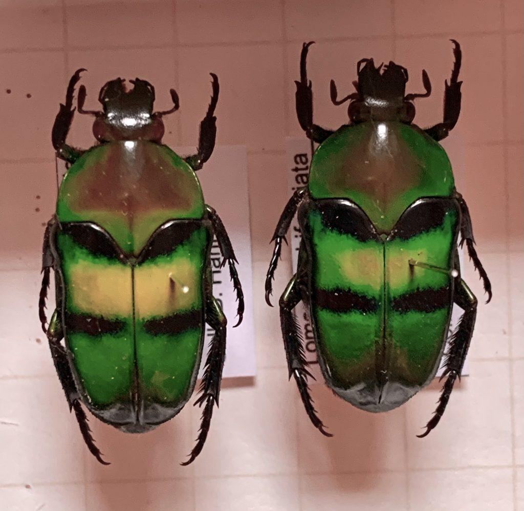 Lomaptera bifasciata