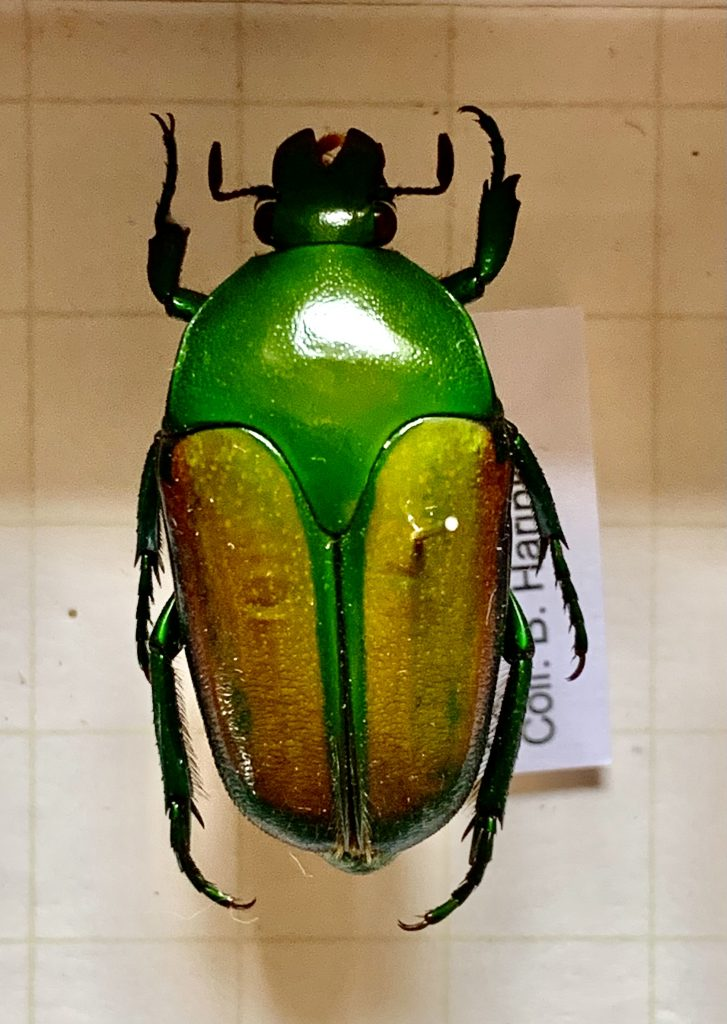 Lomaptera lucidula