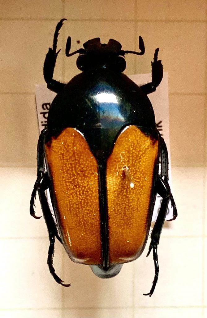 Lomaptera sordida
