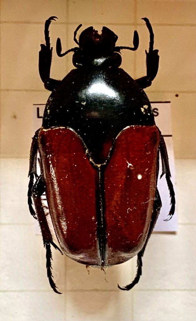 Lomaptera satanus