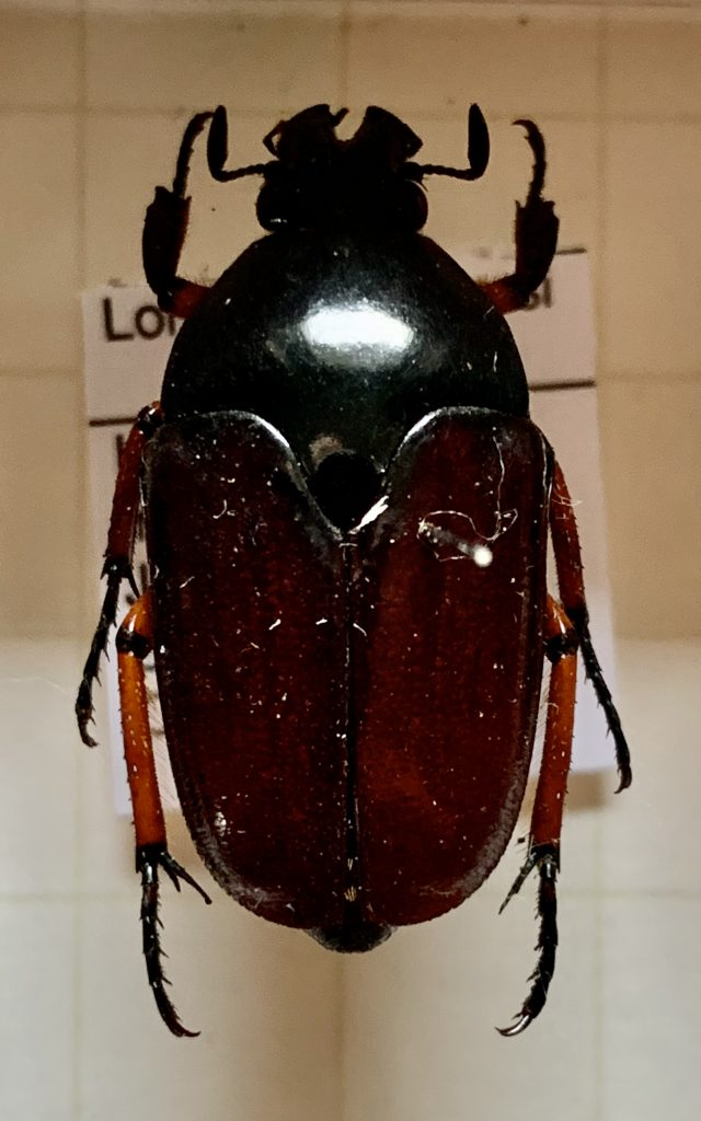 Lomaptera albersi