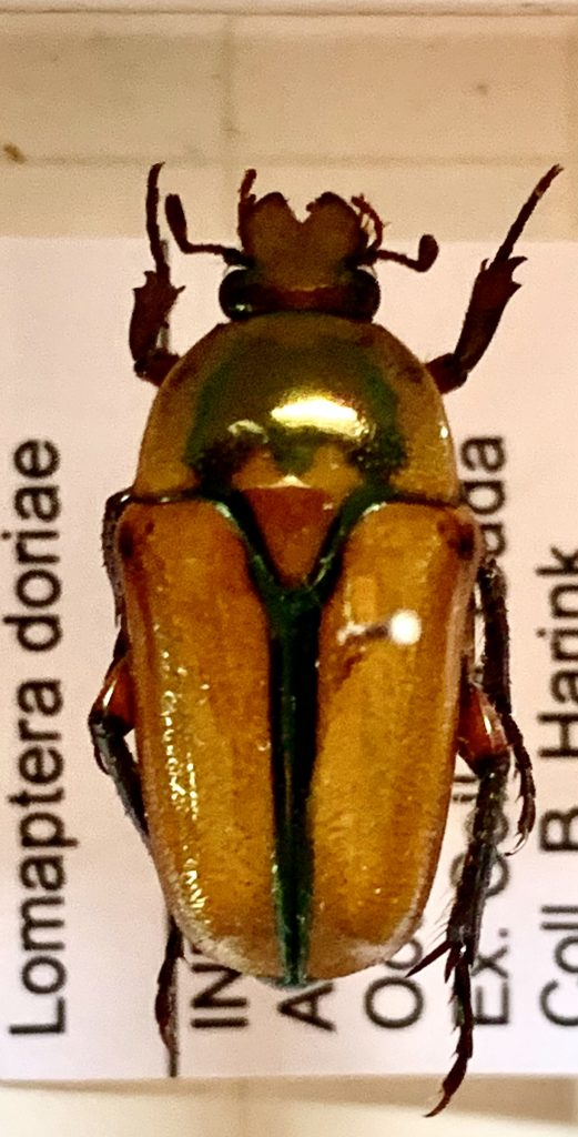 Lomaptera doriae
