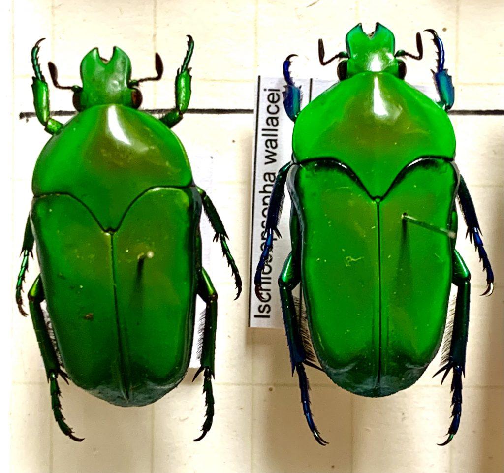 Ischniosopsopha wallacei