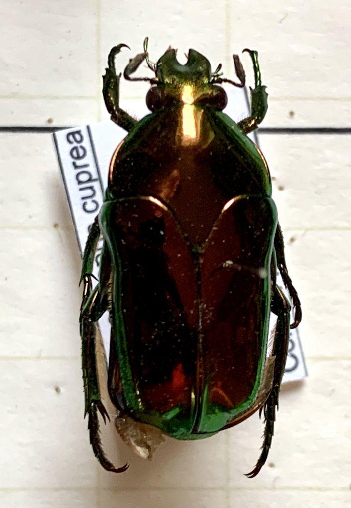 Ischniosopsopha cuprea