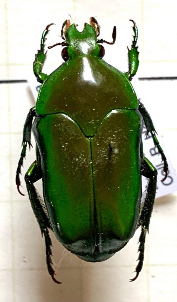 Ischniosopsopha olivacea