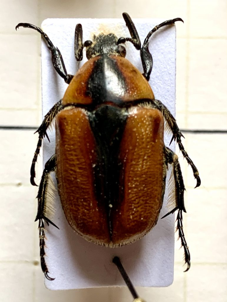 Diaphonia dorsalis